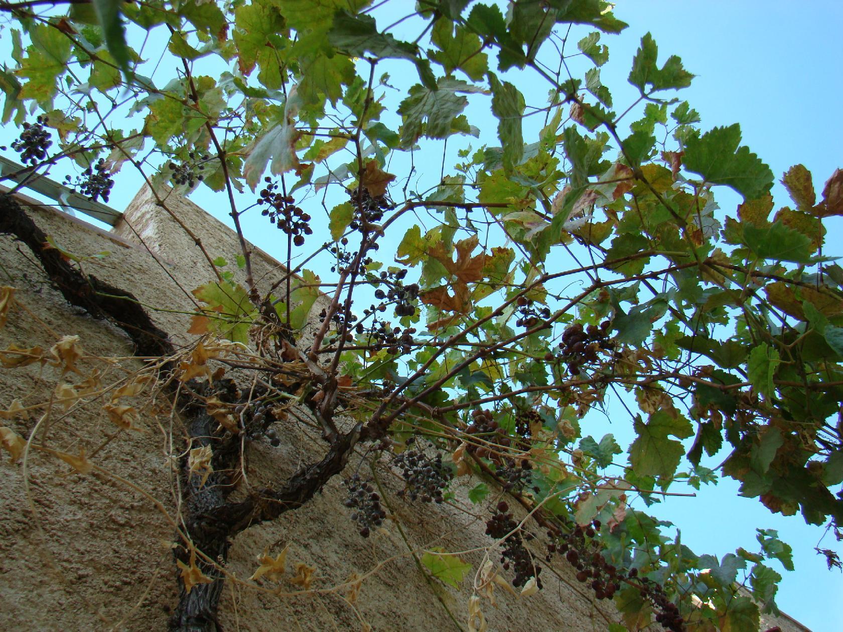 La provence s che fait les badaous la cachina - Quand tailler la vigne en treille ...