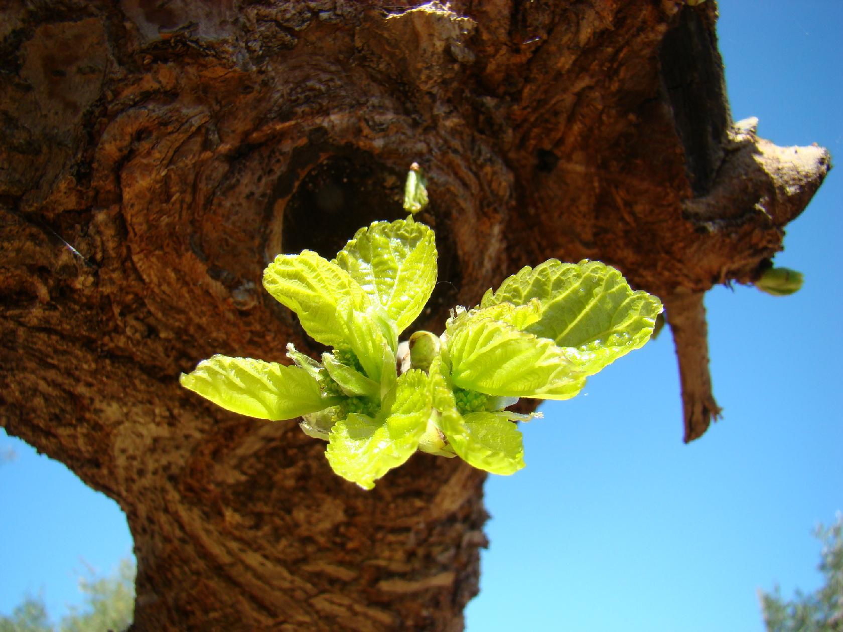 Les arbres de la provence se r veillent la cachina - Arbre provencal ...