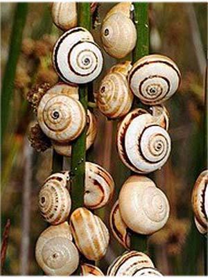 Ramasser les escargots sauvages