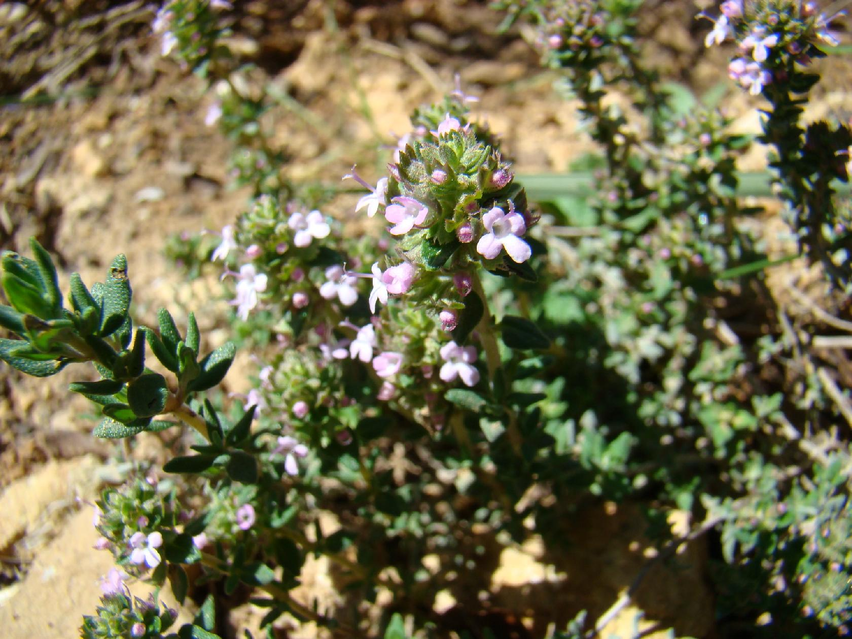 Différentes Variétés De Thym plantes aromatiques de la provence (photos) - la cachina